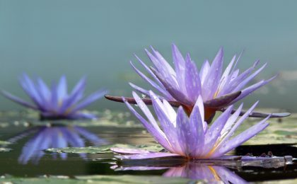 Water lillies on water